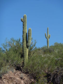 Saguaro Cactus, JennyC - March 2015
