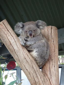 Taronga zoo koala , David S - March 2014