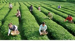Picking tea leaves at the plantation - May 2012