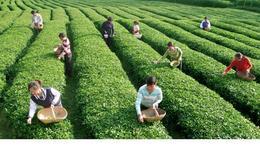 Picking tea leaves at the plantation - May 2012