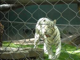 Tiger - September 2011