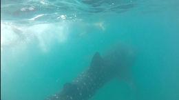 Whale shark!, Cat - November 2014