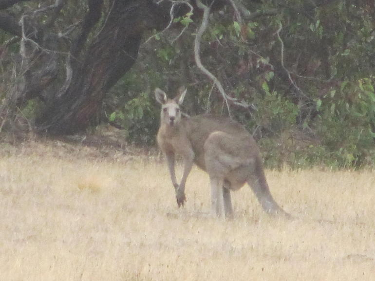 wild kangaroo - Melbourne