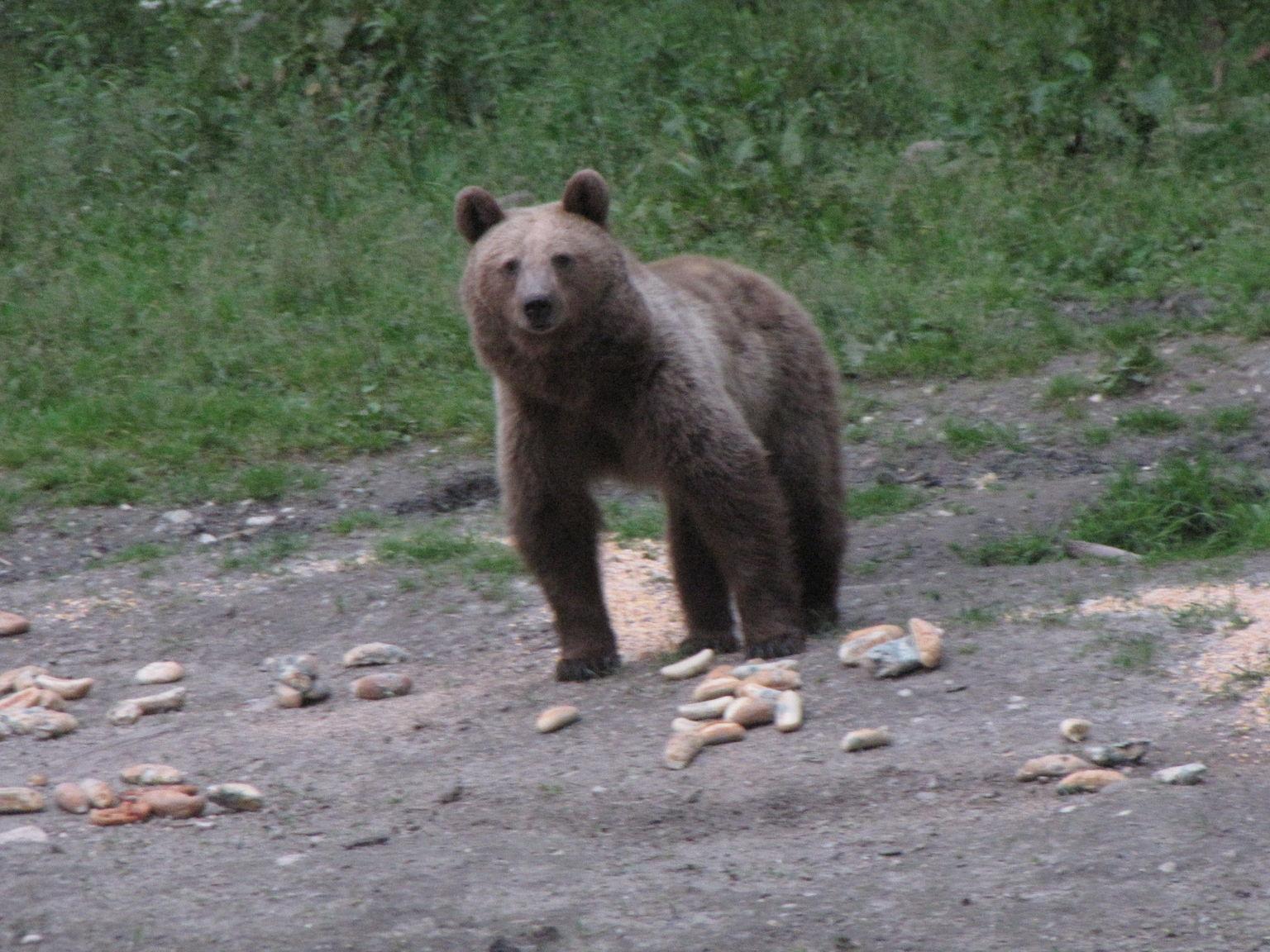 MÁS FOTOS, Experiencia de avistamientos de osos para grupos pequeños desde Brașov