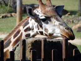 Giraffe in the Africa exhibit , Roxanne C - June 2015