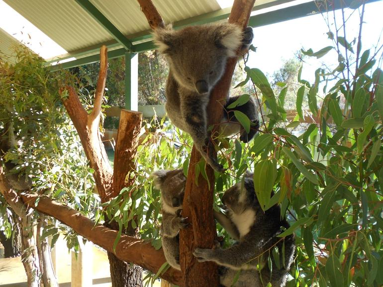 KOALA @ CAVERSHAM WILDLIFE PARK - Perth
