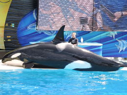 One of the stars of the whale show , Helen S - May 2016