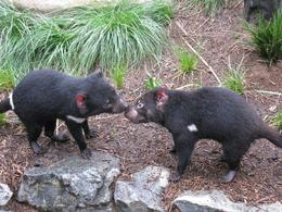 Two of many Tasmanian Devils we saw., Mark C - October 2010