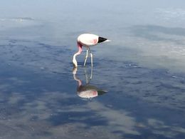 Flamingo looking in the mirror! , Patrice d - May 2015