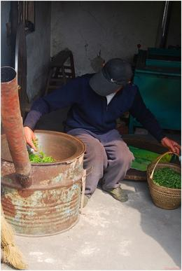 Making sure the tea leaves are all in great condition - May 2012