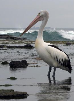 Another pelican shot , David C - December 2010