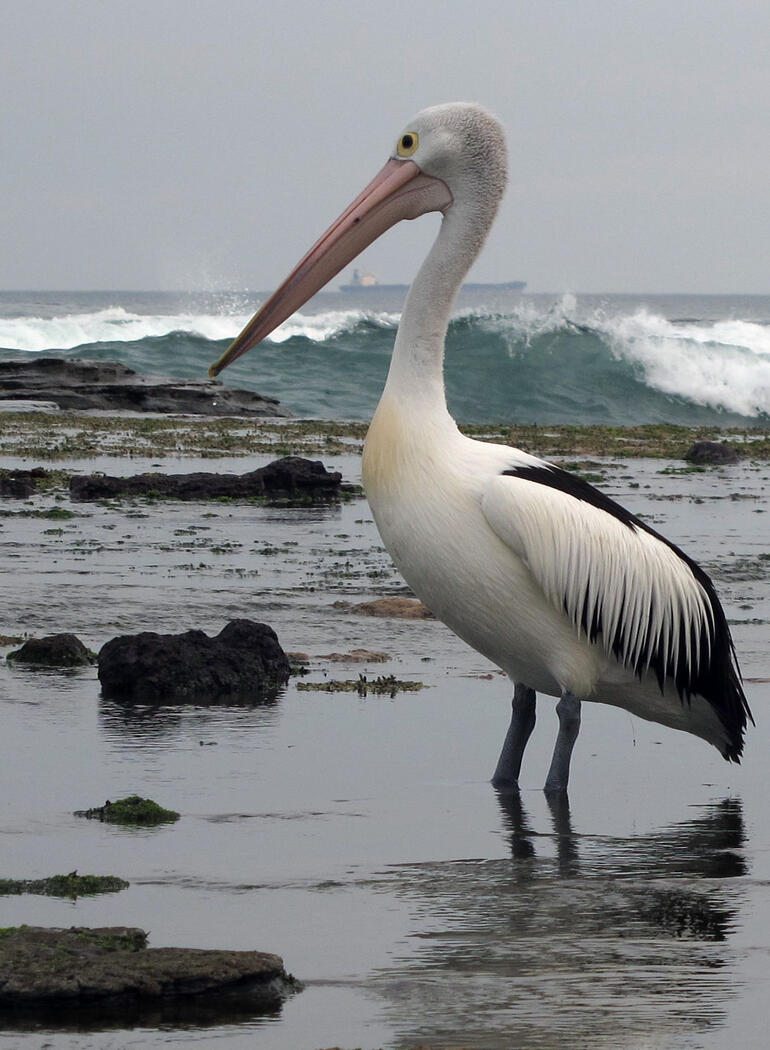 Pelican close up - New South Wales