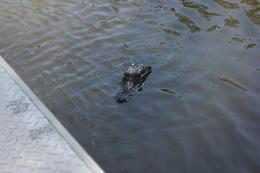 Les petits alligators qui nagent près de notre embarcation paraissent tellement sympathiques qu'on en oublierait presque qu'ils sont dangereux. , Anne-Marie M - August 2013