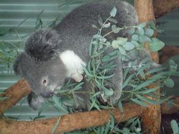 Featherfield Zoo - Koala specialists , David G - June 2016