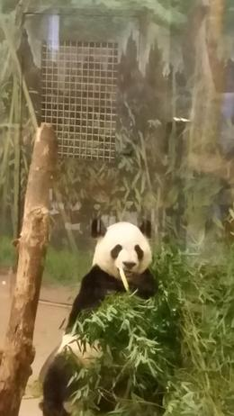 Toronto Zoo's Panda's , Anthony J - December 2016