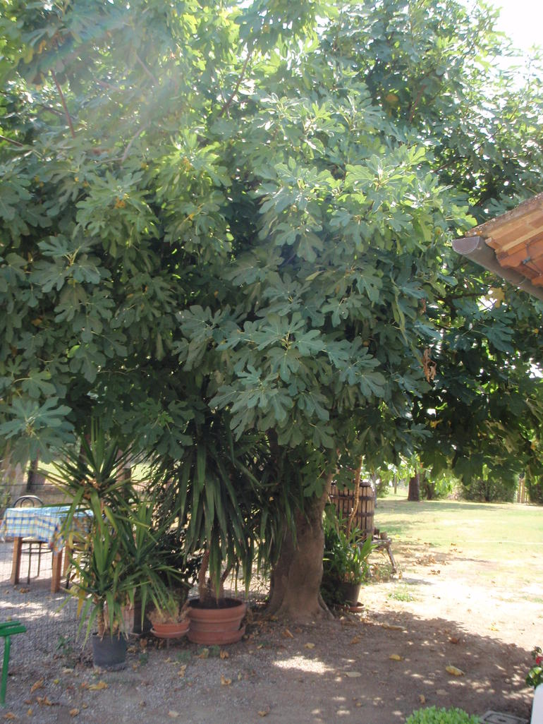 Fig tree at restaurant - Rome