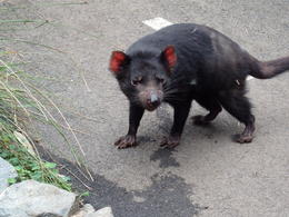 Taronga zoo Tasmanian Devil , David S - March 2014