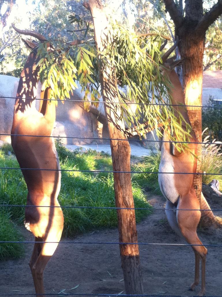 Gerenuks at San Diego Zoo - San Diego