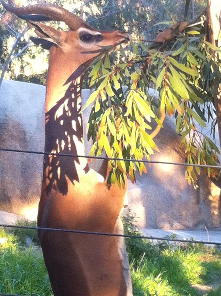 A Gerenuk at San Diego Zoo - San Diego