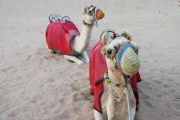 Duo Camel Ride , Bostocks - February 2013