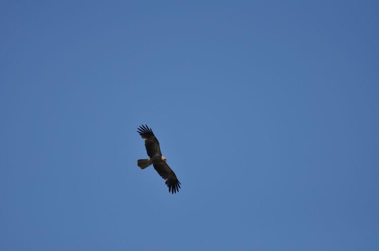 Eagle - Darwin