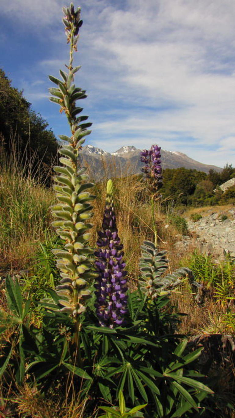 A flower in the valley near the Mount Cook - Queenstown