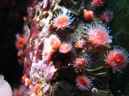 Tiny sea anemone cover the rocks - November 2009