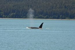 The crew got first info on a pod of orcas - full steam from the whales to the orcas! , Patrick H - July 2016