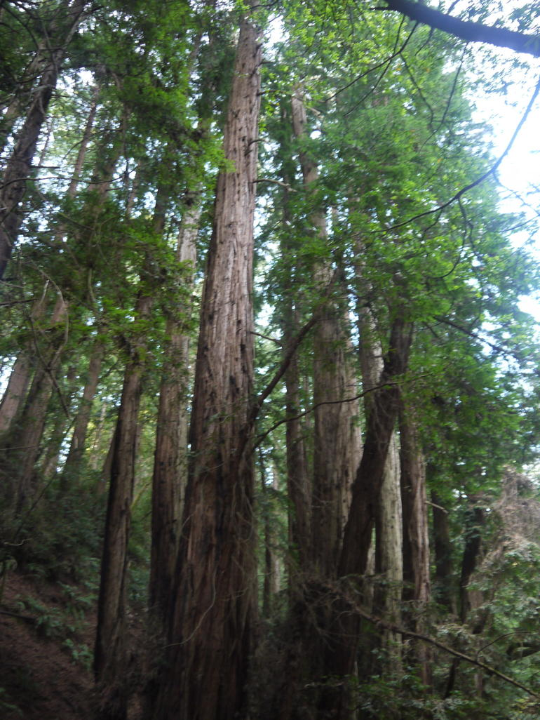 Tall trees - San Francisco