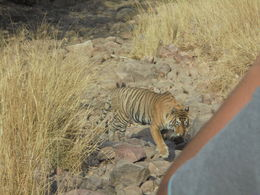 Ranthambore safari , John D - May 2016