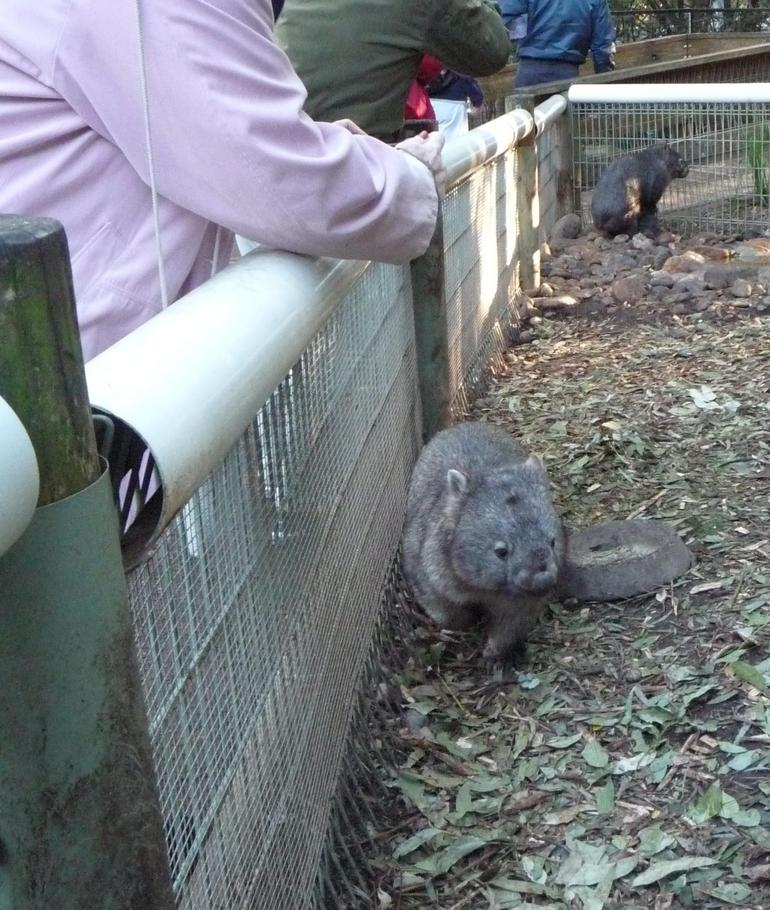 Wombat at Featherdale - Sydney