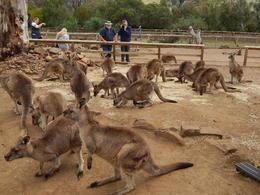 Kangaroos at feeding time , Alan C - January 2018