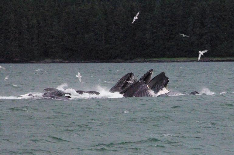 Humpbacks - July 22, 2009 - Juneau