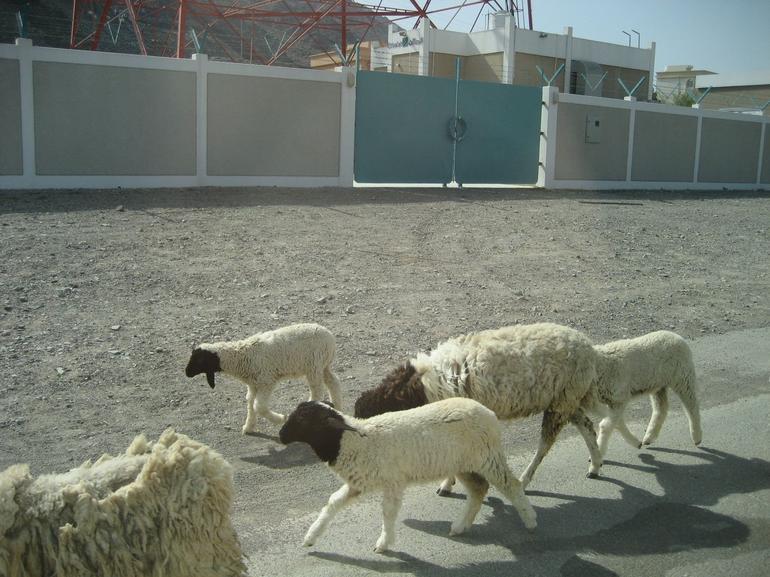 Sheep - Dubai