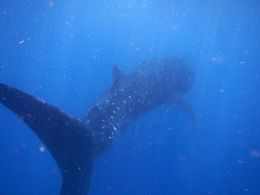 This whale shark swam gently by me. They are very big but oh so gentle. , lmfsport - August 2016