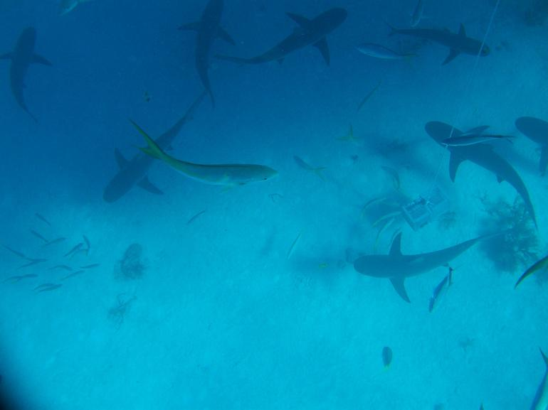 Caribbean Reef Sharks - Stuart's Cove - January 2, 2013 - Nassau