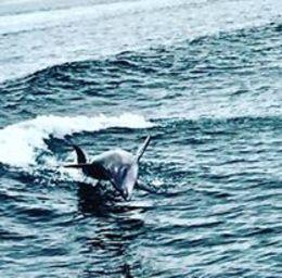 Dolphin spotted on penguin island tour , Kerri S - April 2016