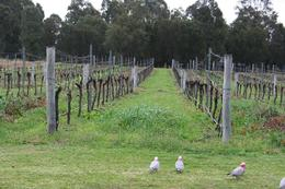 This is a shot of the vineyards. Some wild kangaroos are far in the background., SERGIO V - June 2009