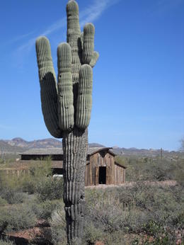Large saguaro near the barn , Leah - April 2012