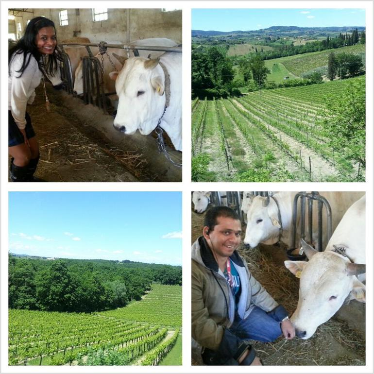 Tuscan Cows - Florence