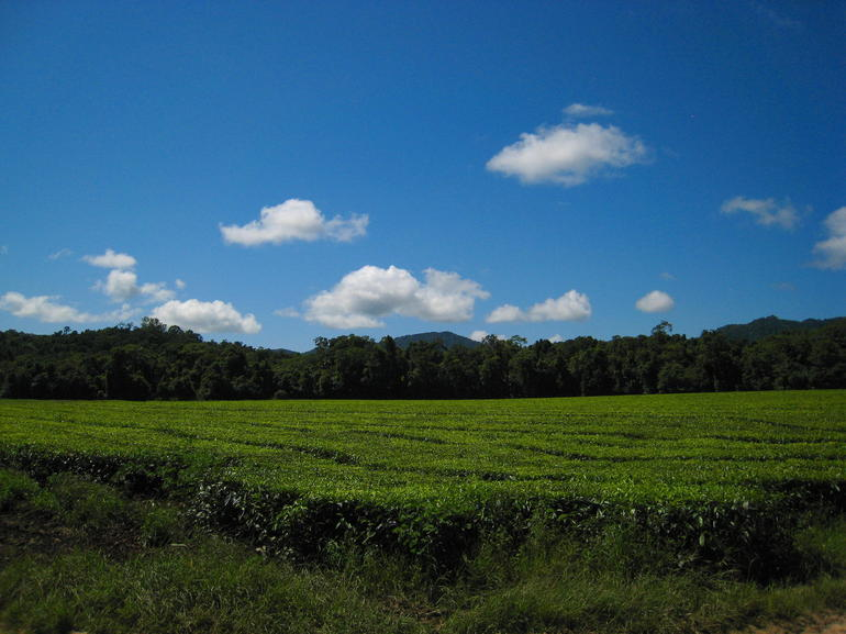 Cape Tribulation Tea Fields - Cairns & the Tropical North