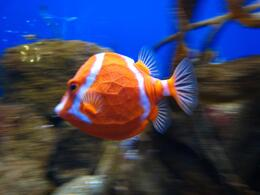 The eye-catching fish are the most fun to watch swim around the aquarium habitats. - November 2009