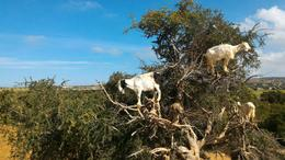 Goat In Tree , madupree - January 2017