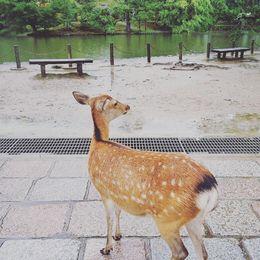 Deer at Nara Park , Elisha P - November 2015