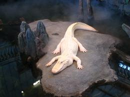 The Academy's famous Albino Aligator! - November 2009