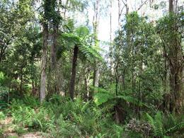 Eucalyptus, Dandenong Ranges, Sarah F - December 2009