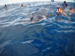 Here are a group of people in the water checking out the huge whale shark right in the middle of them...incredible !! , lmfsport - August 2016