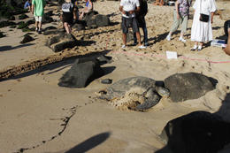 We were lucky to see a turtle there sleeping on the sand at Turtle Beach. They have volunteers there to monitor them and make sure people are not too close and don't disturb them. You can ask them ... , shiny apple - January 2012