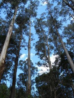 more Eucalyptus, Sarah F - December 2009