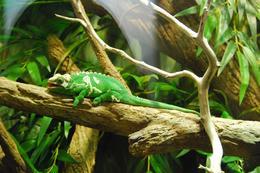 Neat Little Lizard - August 2009